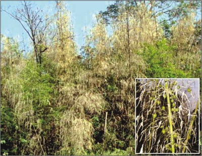 Bamboo clusters withering away in remote Sajek area in Rangamati and the plants