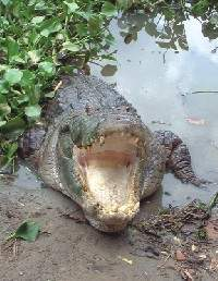 Crocodiles In Peril