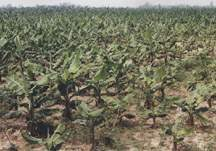 banana plantation removing sal
