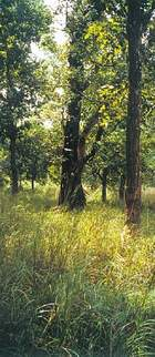 natural sal forest