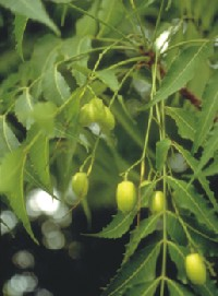 neem- the wonder plant