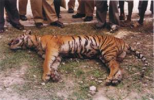 killed tiger