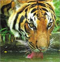 Extinction of the Royal Bengal Tiger?